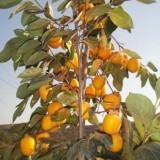柿子树苗在哪里购买?柿子树苗多少钱一颗?八月红柿子树苗基地直供