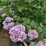 八仙花小苗哪里有 江苏八仙花种植基地出售