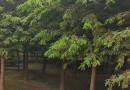 江苏落羽杉供应 12公分落羽杉价格