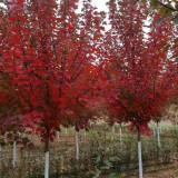 美国红枫树报价 15公分美国红枫树价格