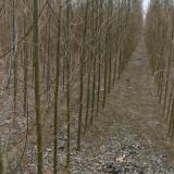 速生柳树苗哪里有 3公分速生柳价格