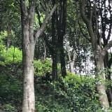 天然虫漏沉香树价格 沉香树多少钱一棵