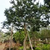 湖南红果冬青树基地在哪里,红果冬青树价格怎么样