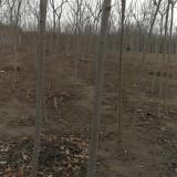 火炬树苗多少钱一棵 3~4~5公分火炬树苗价格