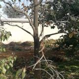 柿子树价格 河北8公分柿子树批发