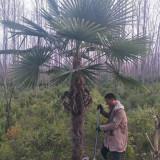 出售棕榈树 棕榈树批发 3米高棕榈树价格
