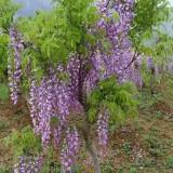 2公分紫藤苗价格 紫藤苗培育基地