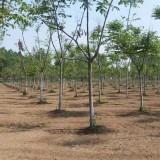米径8公分栾树价格 行情 江苏栾树苗木基地
