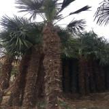 棕榈树价格 1.5米高棕榈树苗多少钱一棵