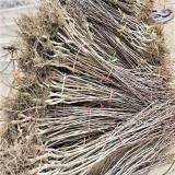 甜红籽山楂树苗价格多少钱一棵