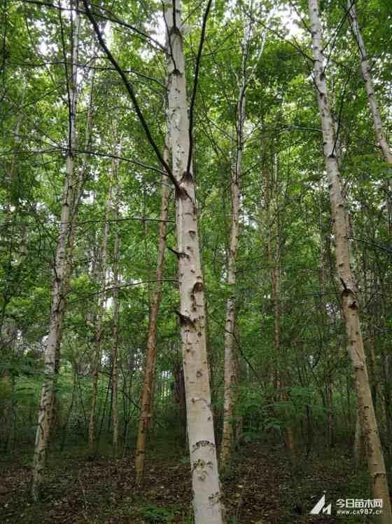 白桦树基地批发  白桦树种植   白桦树多少钱一棵