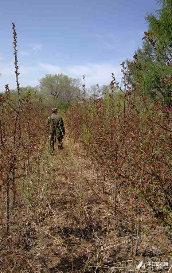 光辉海棠种植  4-6公分光辉海棠树价格  光辉海棠行情