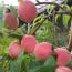 桃树苗多少钱一棵   桃树苗基地批发
