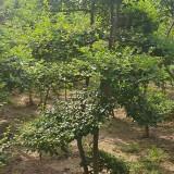 沭阳小叶女贞造型树价格 产地批发供应