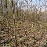 7-8公分法国梧桐树价格  法国梧桐树基地批发