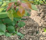 杏树苗基地批发 供应 价格