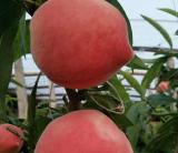 桃树苗哪里有卖   桃树苗批发价格