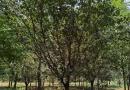 10公分法桐树多少钱一棵 基地10公分法桐价格