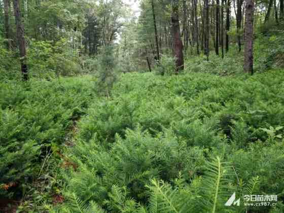 红豆杉小苗批发  红豆杉小苗价格  1米高红豆杉种植