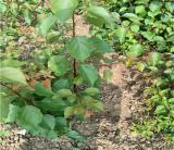 杏树苗多少钱一棵  杏树苗基地批发  