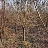 8公分红梅树 基地8公分红梅树多少钱一棵