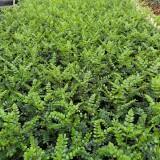 当年生清香木 清香木实生苗 哪里有清香木袋苗