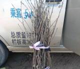 樱桃树苗哪里有卖   樱桃树苗批发价格
