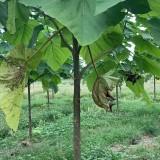 5公分泡桐树种植基地  10公分泡桐树价格
