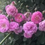 40公分蔷薇苗 60公分蔷薇苗多少钱一棵