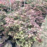 5公分日本红枫价格 6公分日本红枫多少钱