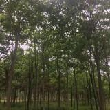 5公分楸树价格 8公分楸树多少钱一棵