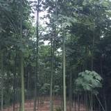 5公分青桐价格 6公分青桐树多少钱一棵