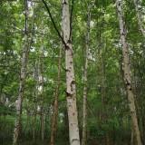 白桦树苗价格 白桦树苗多少钱一棵