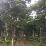 6公分七叶树价格 8公分七叶树多少钱