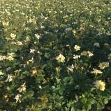 一年生黄帽月季 黄帽月季小苗 江苏30公分黄帽月季