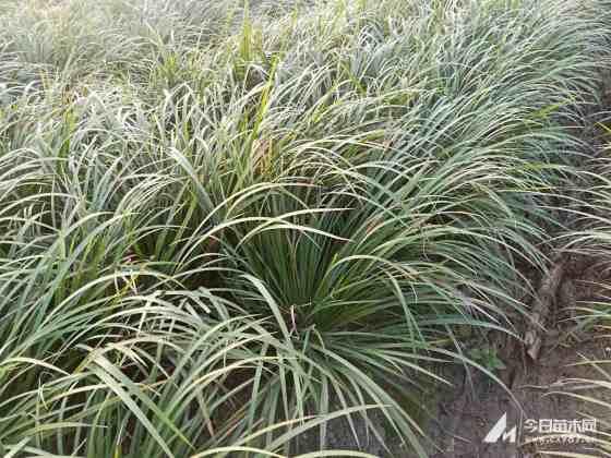 石菖蒲价格 石菖蒲水生植物种植基地
