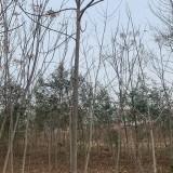 江苏沭阳苦楝 8公分苦楝 10公分苦楝树价格