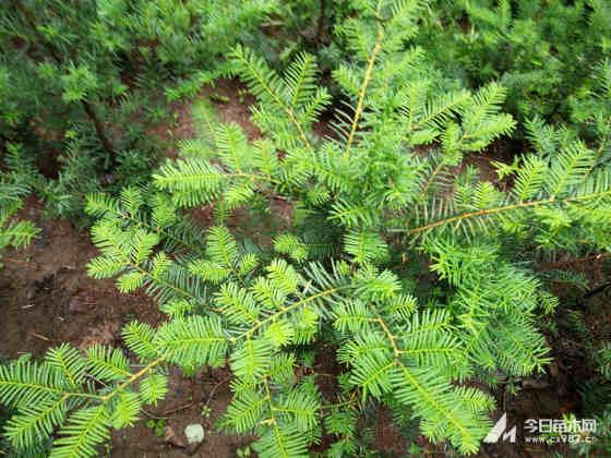 东北红豆衫种苗批发 1米东北红豆杉价格