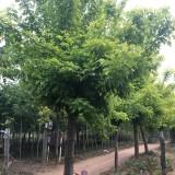 金叶复叶槭价格 金叶复叶槭12-15公分大量供应