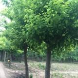金叶复叶槭 基地10公分金叶复叶槭价格多少钱一棵