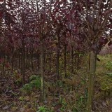 河南紫叶稠李价格 紫叶稠李种植基地