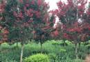 美国红火箭紫薇苗价格 4公分美国红火箭紫薇多少钱