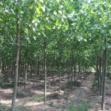 法国梧桐树多少钱一棵 5公分法国梧桐树价格