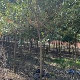 冬青树拆迁处理 3元一棵 自己挖