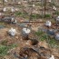 一年生紫藤小苗 基地1-2公分紫藤多少钱一棵