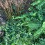 一年生紫穗槐 紫穗槐小苗 江苏60公分紫穗槐