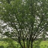 一年生杏树 1-2公分杏树小苗 江苏哪有杏树