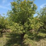 8公分杏树价格 江苏9公分杏树多少钱一棵