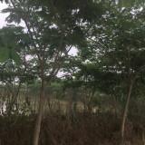 3公分合欢树苗多少钱 江苏沭阳合欢种植基地