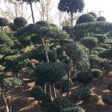 小叶女贞造型树价格 15公分小叶女贞造型树多少钱一棵